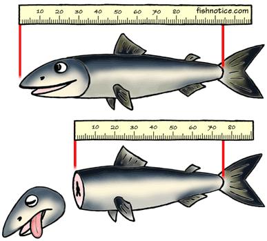 Измерение длины рыбы
